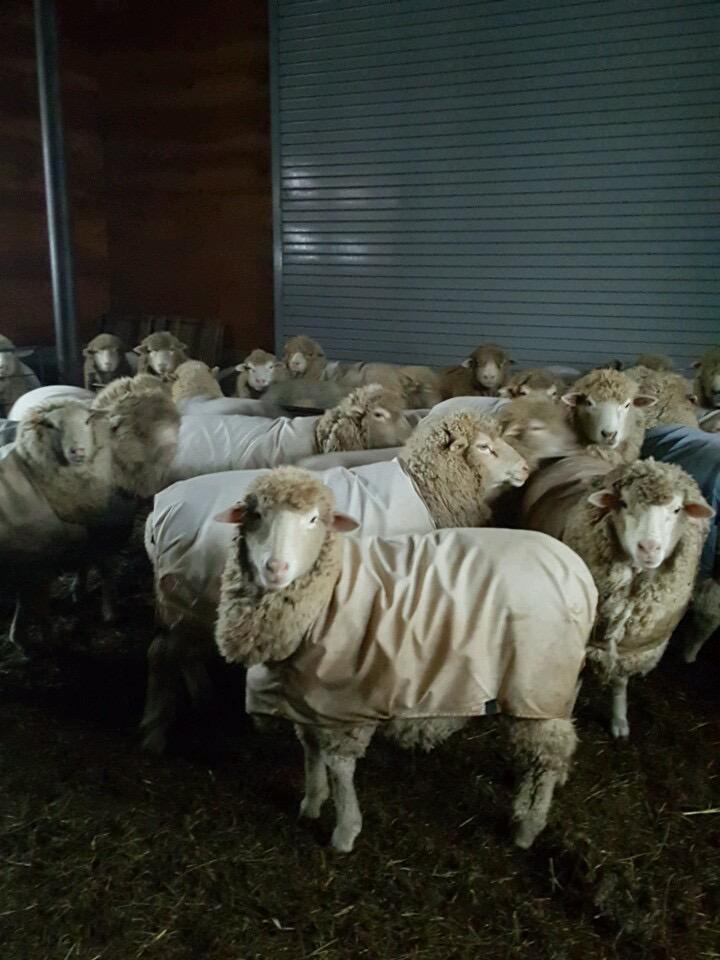 Sheep in coats in barn