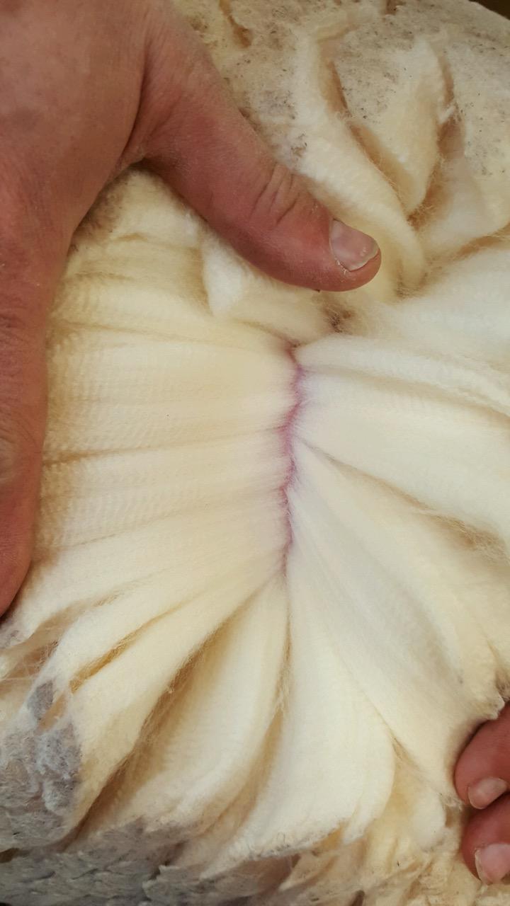Fleece parted along the sheep's upper shoulder