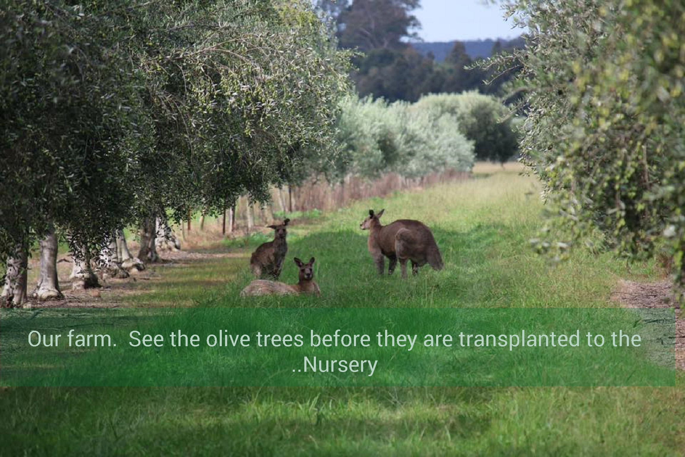 Fourth Village Estate Olive Grove with kangaroos grazing and Caption.jpg