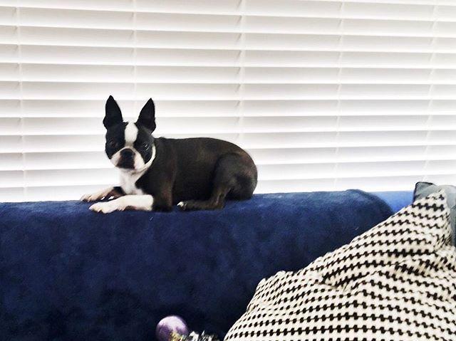 Always sitting on top. #bostonterrier #dogsofinstagram