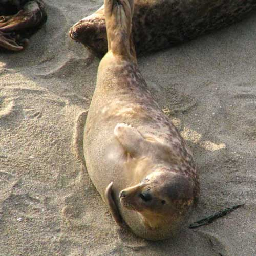 Check out the seals on the beach in La Jolla