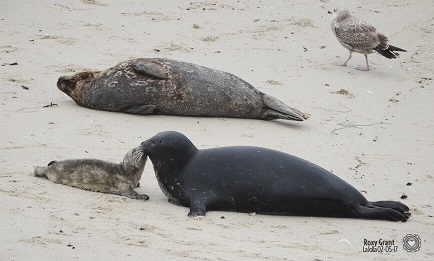 Baby seals on the beach in San Diego / La Jolla.