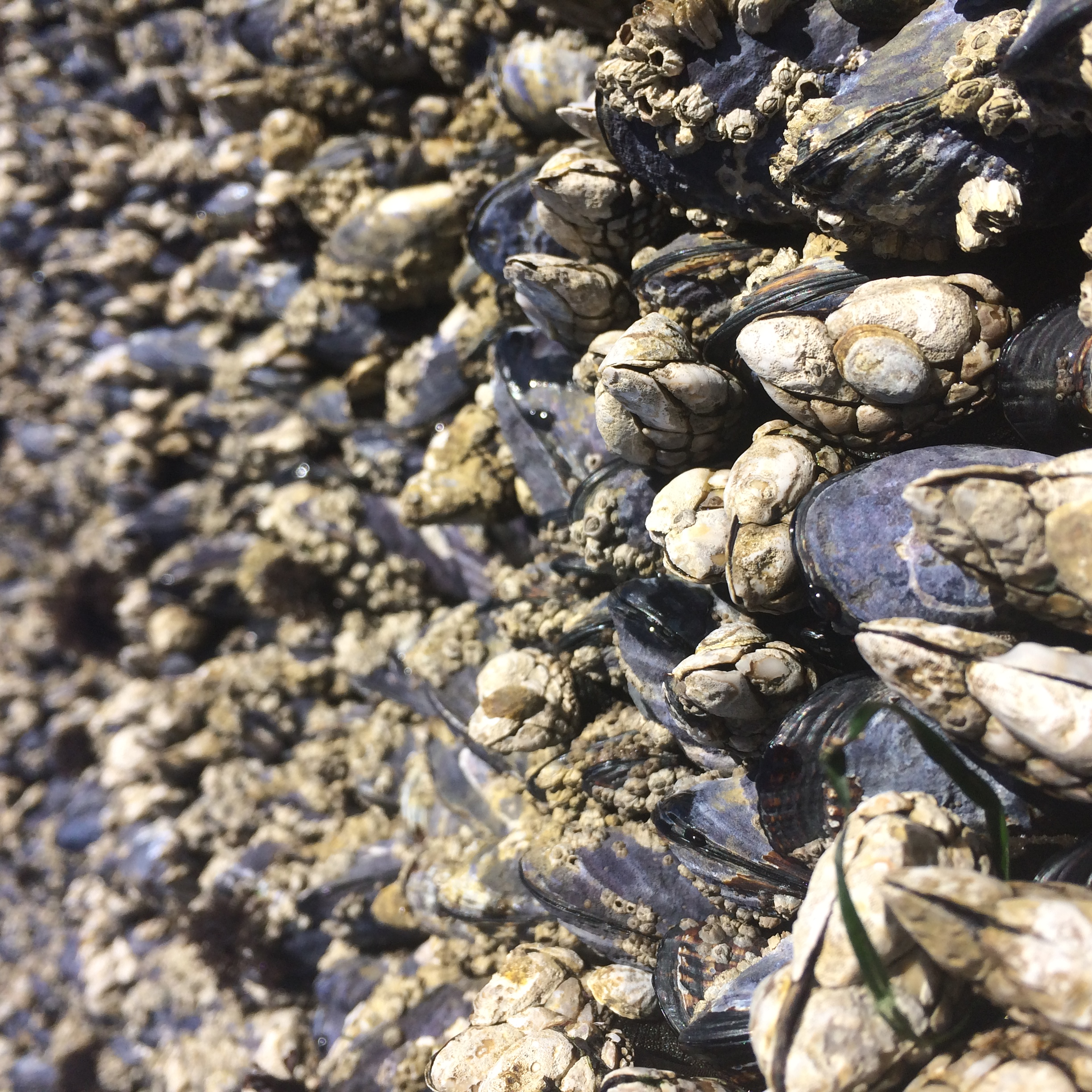 California Sea Mussels intermingling with Gooseneck Barnacles