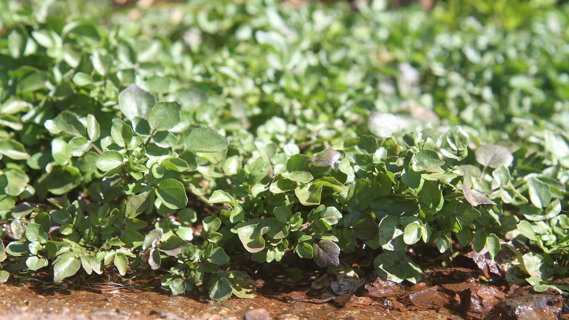 Watercress,  Nasturtium officinale
