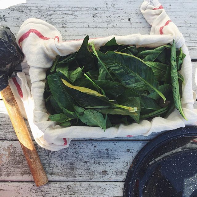 Wilted indigo leaves revived with an ice water bath and left in the fridge in a cloth in a Tupperware. Ready for an experiment pounding it into fabric.