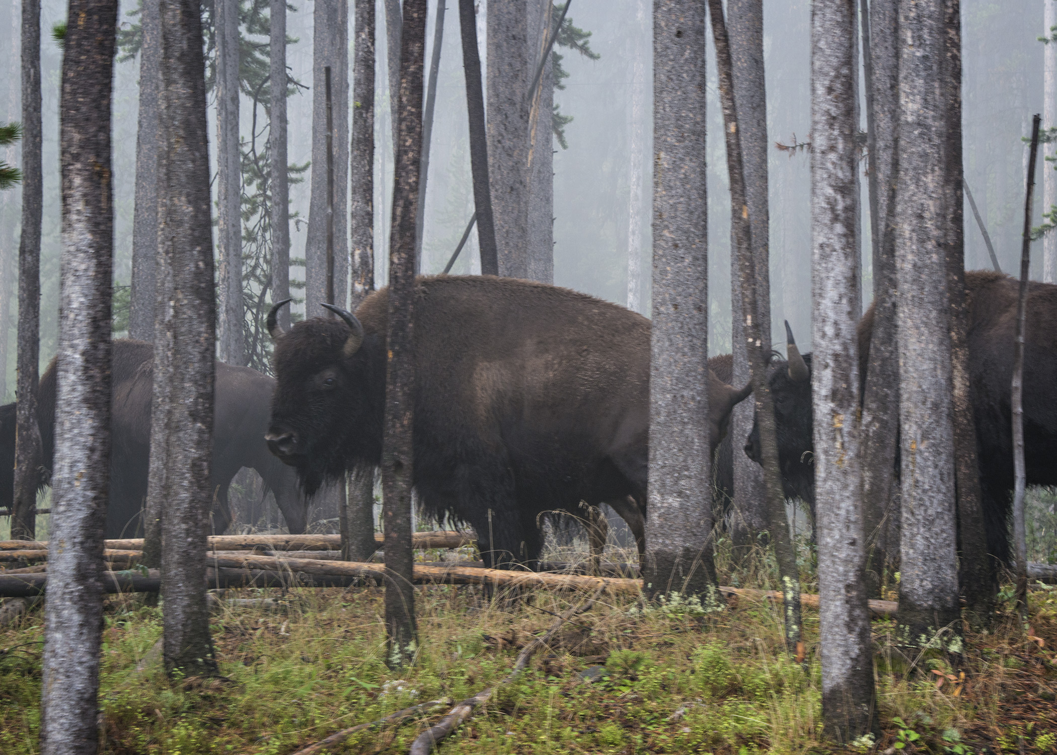 Bison look angrily through the trees on a late summer morning in Yellowstone. Overnight snow put them in a foul mood.