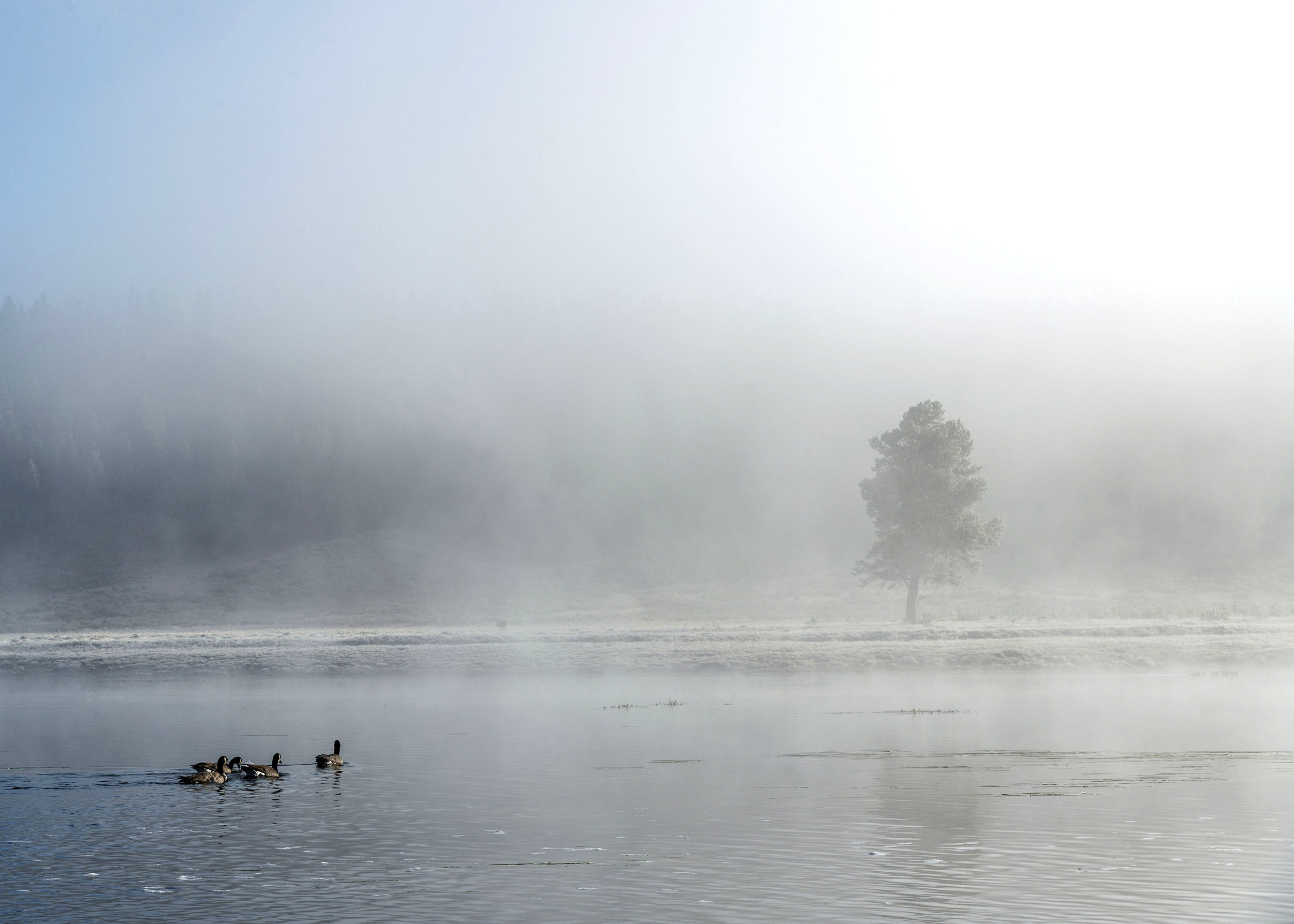 Canadian Geese swim across the Yellowstone River shortly after dawn. Nikon D800, Nikkor 24-120mm lens @ 70mm, ISO 200, f10, 1/400 sec.