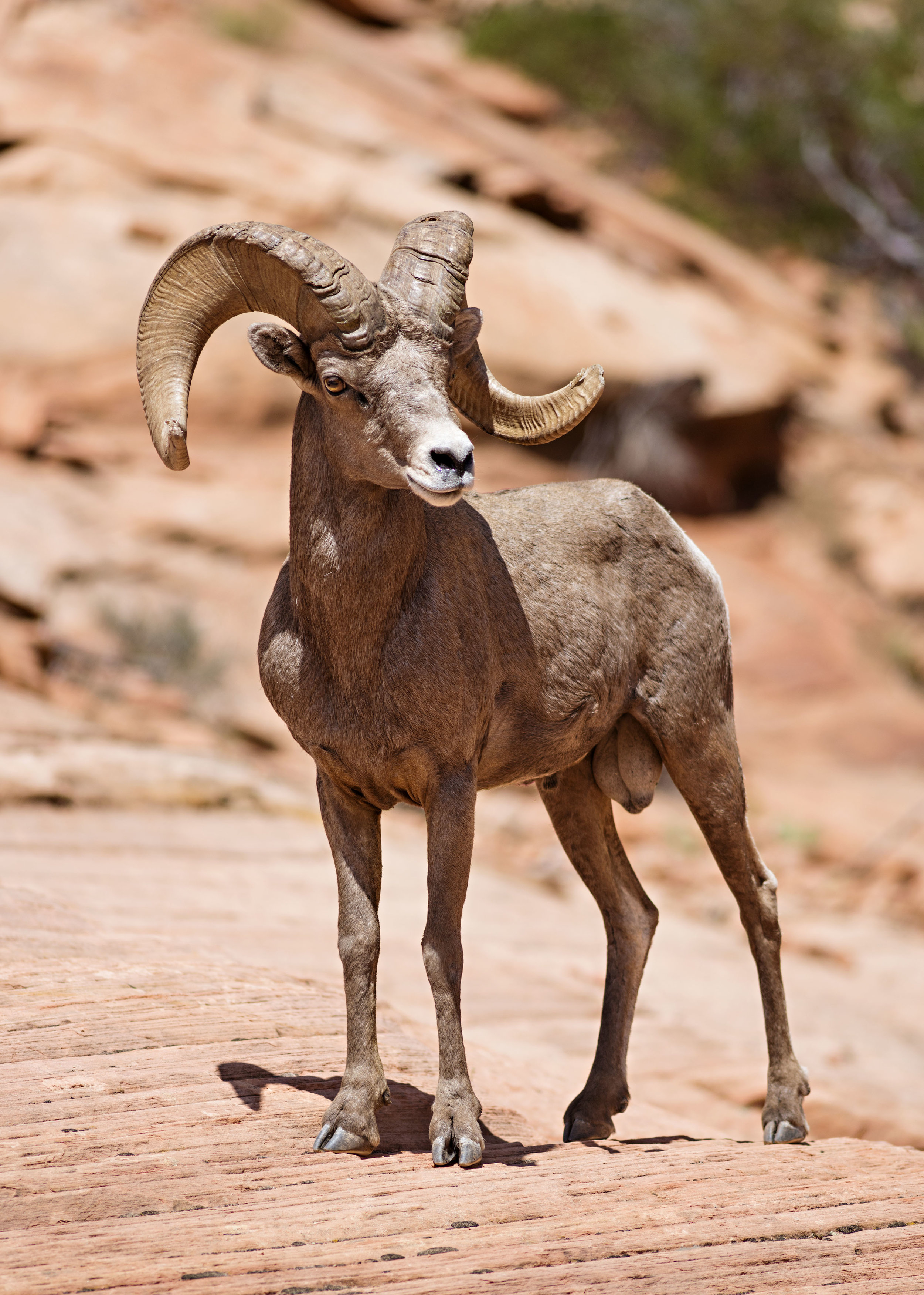 A ram poses confidently for photos in Zion National Park.  Nikon D800, Nikkor 300mm lens, ISO 250, f4.5, 1/2000 sec.
