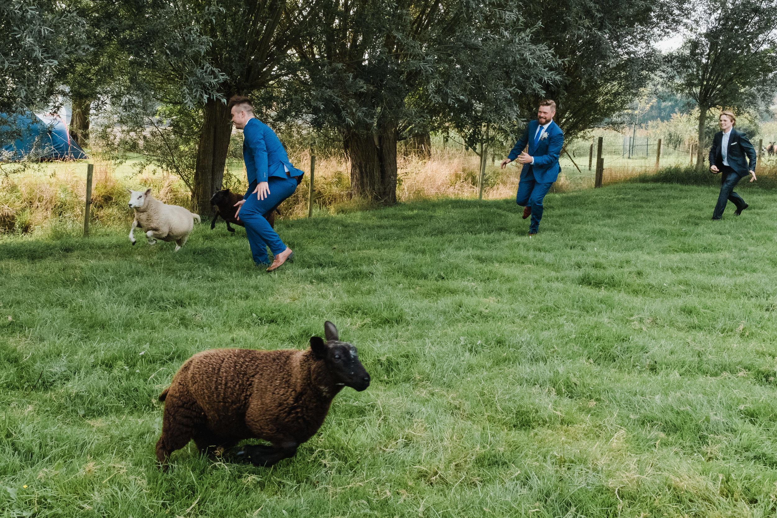 men chasing sheep