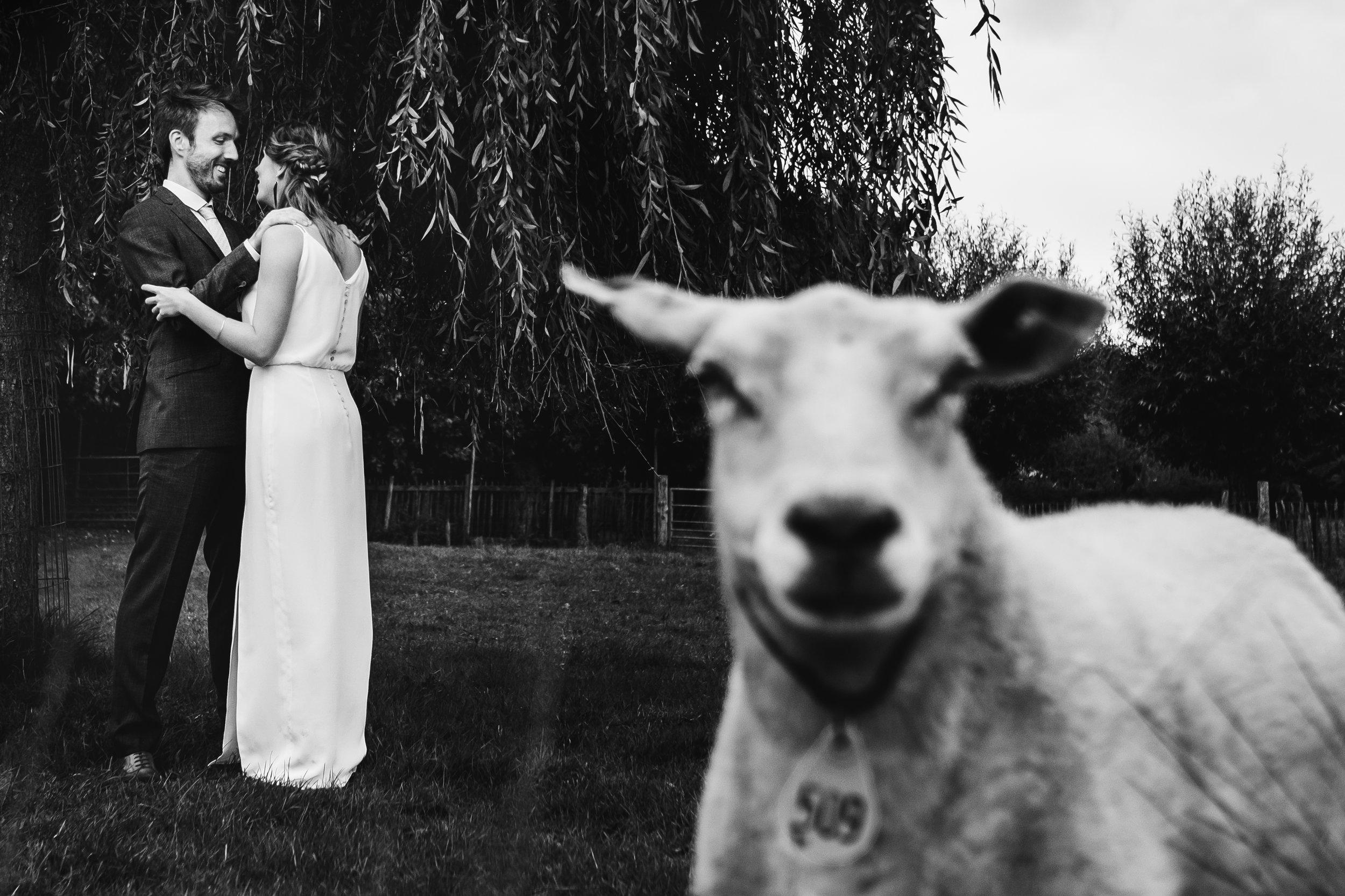 sheep on wedding photo