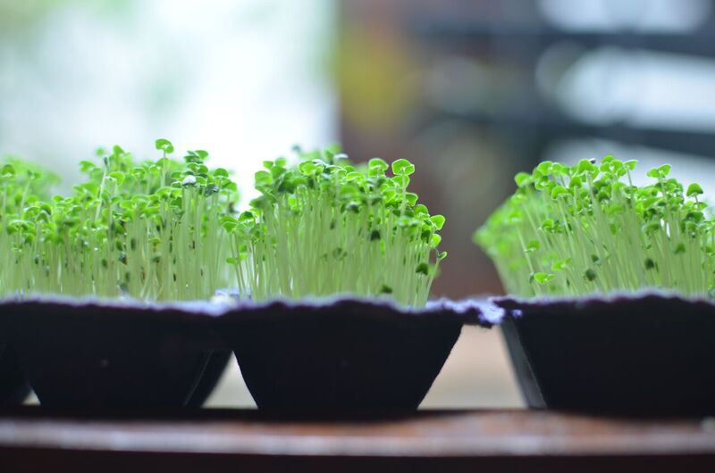 Sprouting Chia seeds