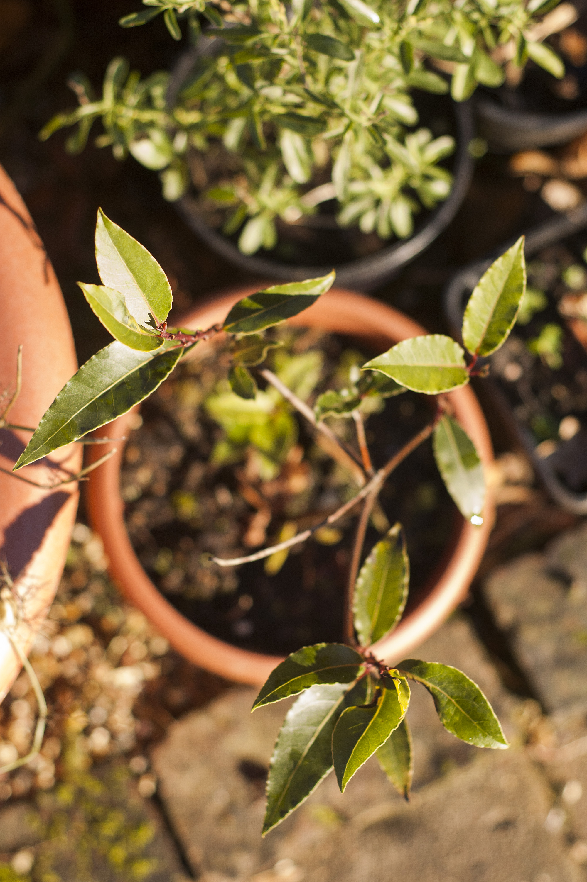 Bay Leaves - Roasted Celeriac with Lentils, Mint & Tahini