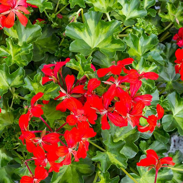 Pelargonium Peltatum «Slyngpelargonia»