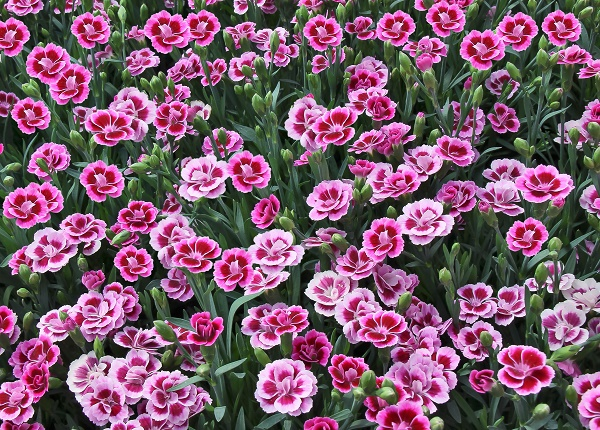 Bracteantha (Helichrysum)