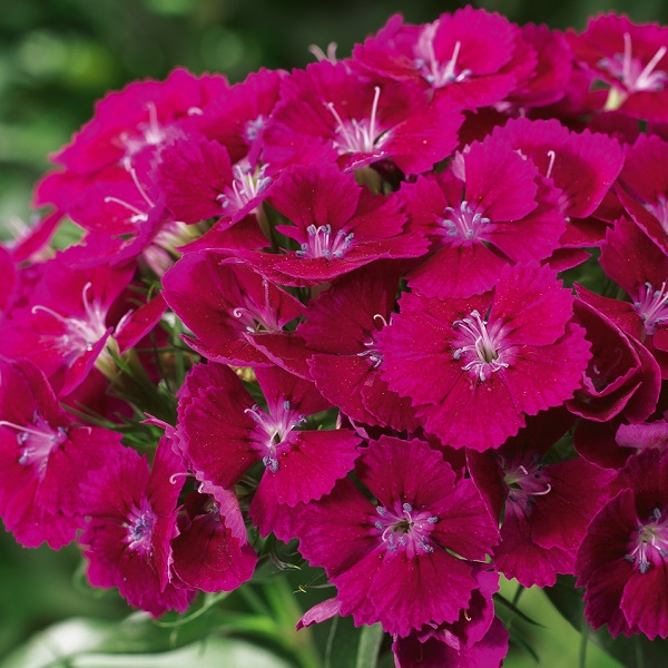 Foto: Volmary Dianthus barbatus Barbarini*F1 Purple