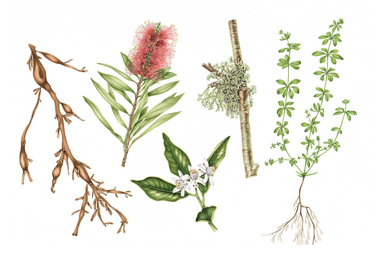 With Associates Field Guide, 2011, watercolour on paper (commission for digital agency With Associates with a plant portrait representing each member of the team)