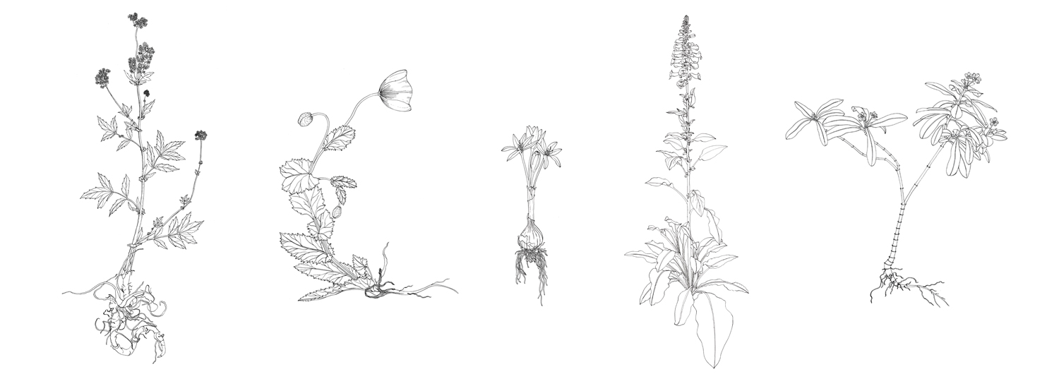 Meadowsweet, Poppy, Autumn Crocus, Foxglove and Periwinkle, pen & ink on paper