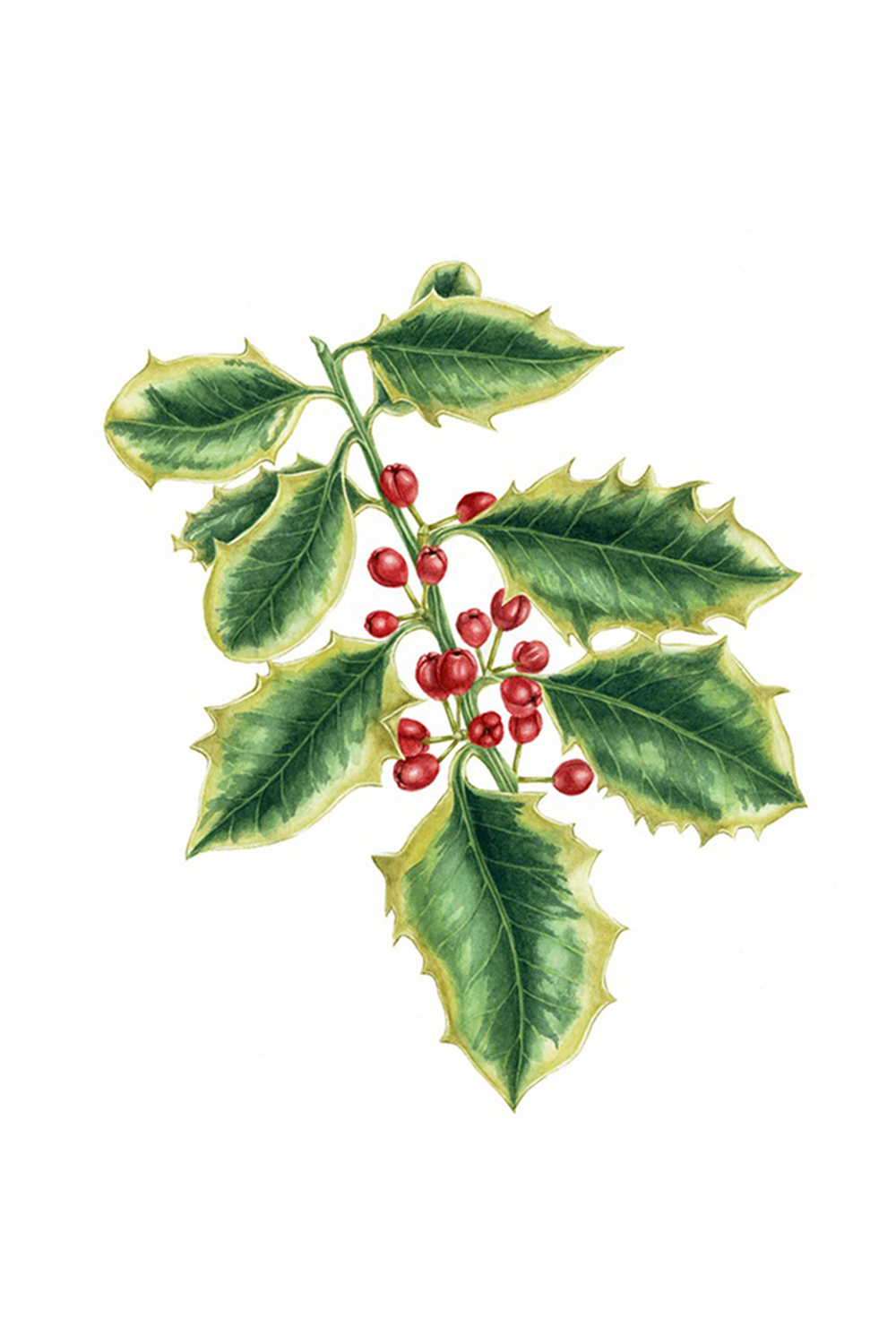 Variegated Holly, 2009, watercolour on paper