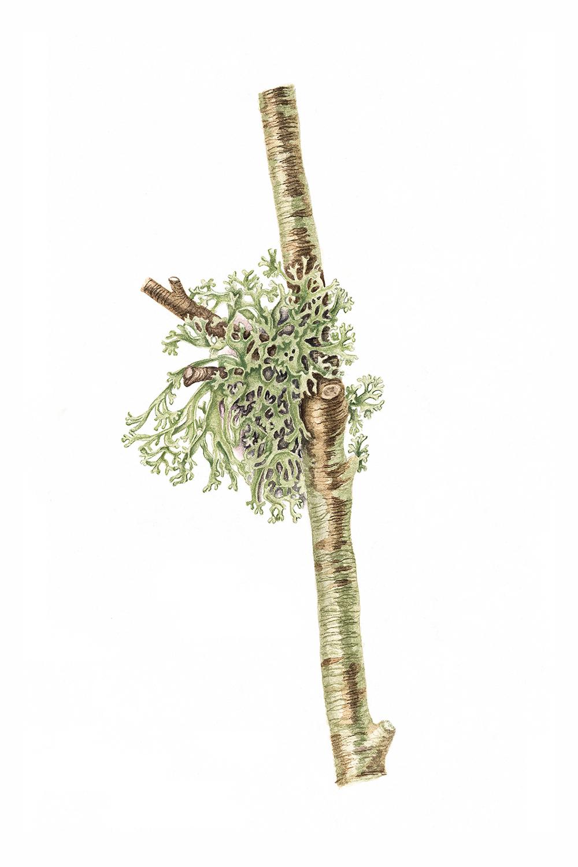 Oak Moss, 2011, watercolour on paper