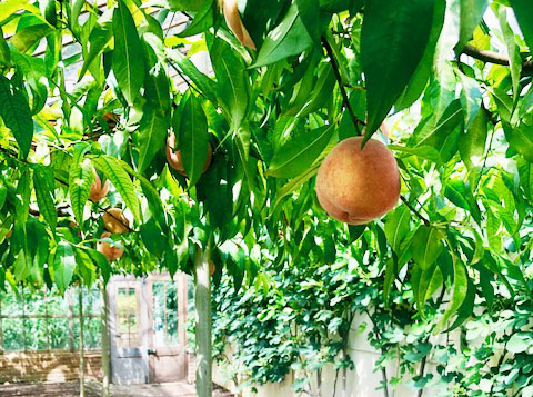 peach-tree-crop.jpg