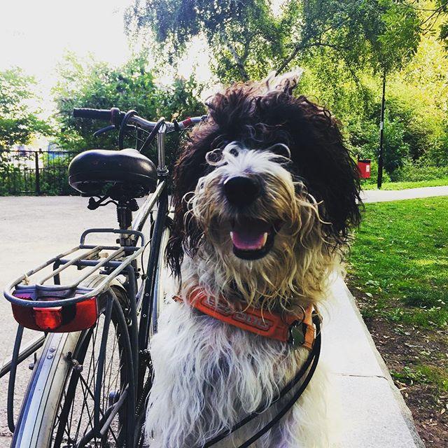 #larkin# Parsons terrier