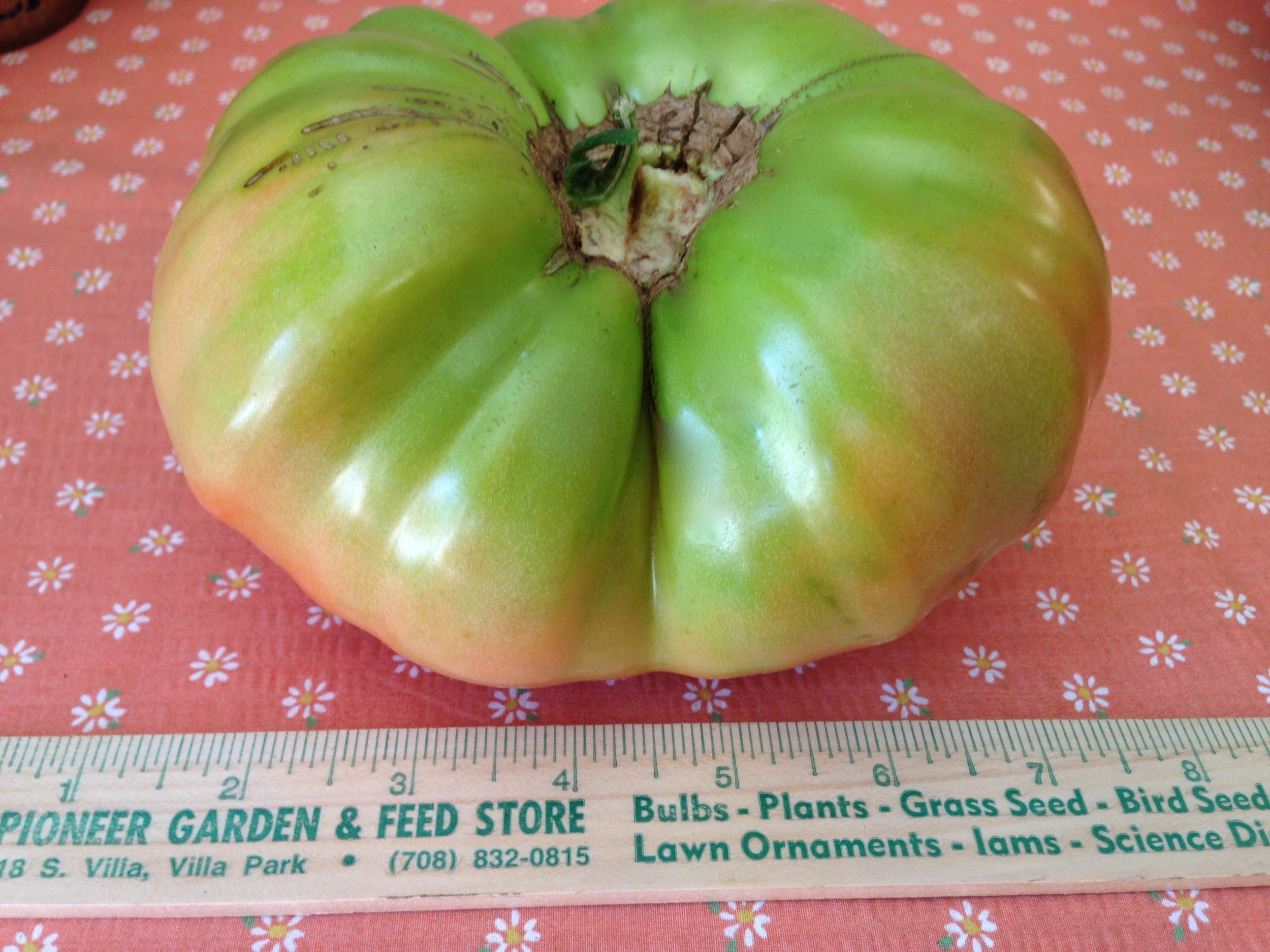 Beefsteak tomato before ripening