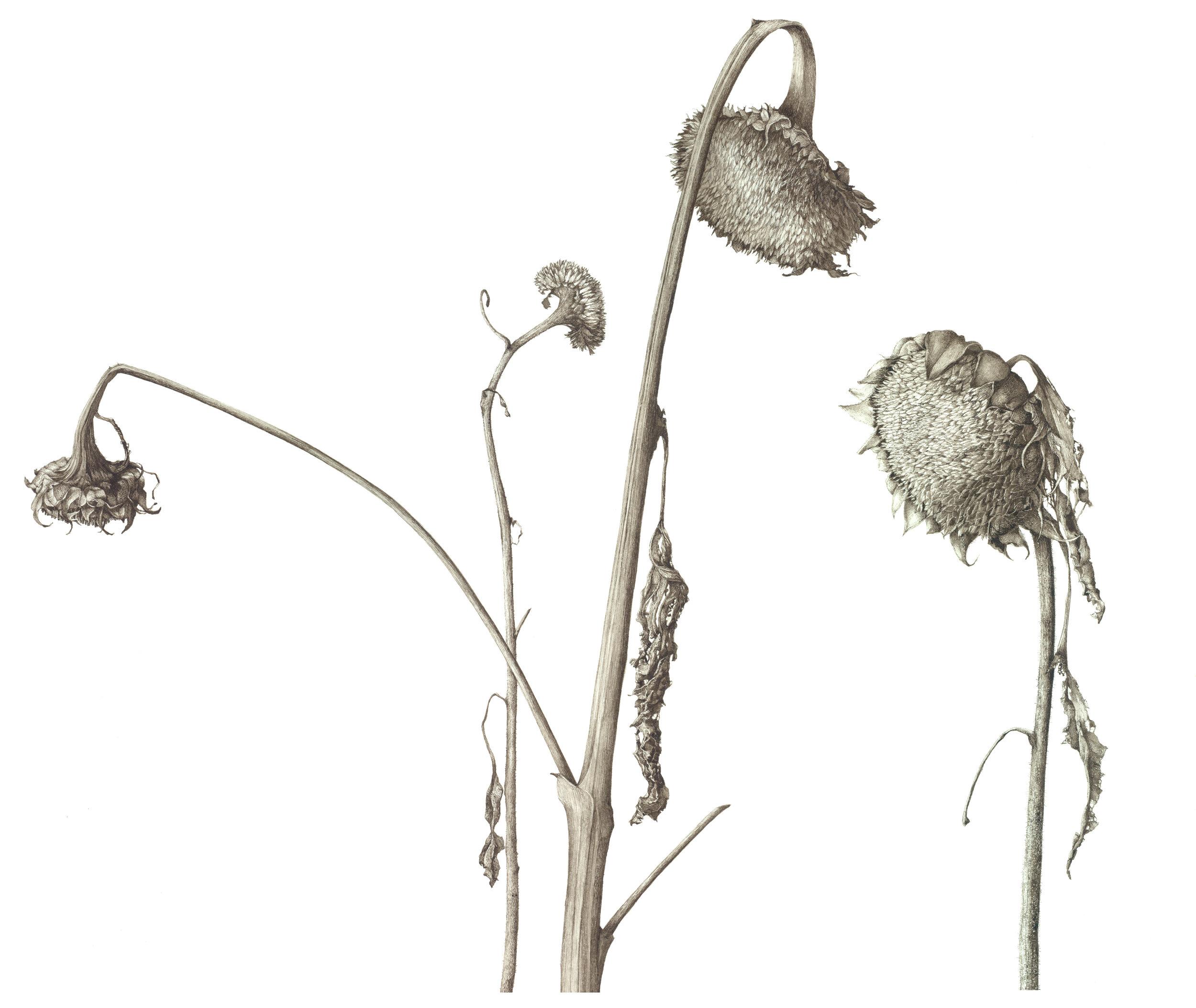 4.GastingerSunflowers.jpg