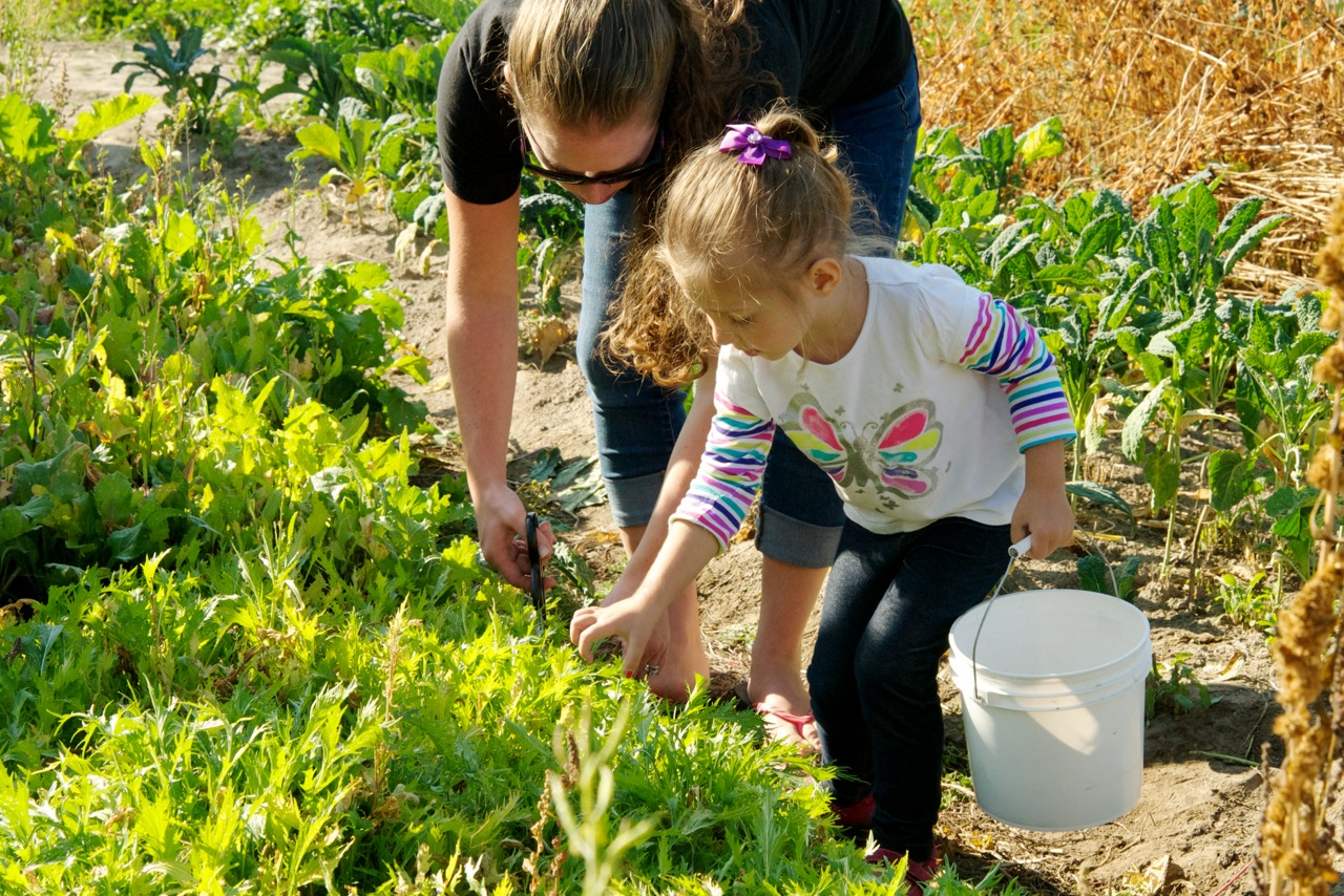 Children picking lettuces at Terrapin Farm that were later served for the salad course at the farm to table dinner