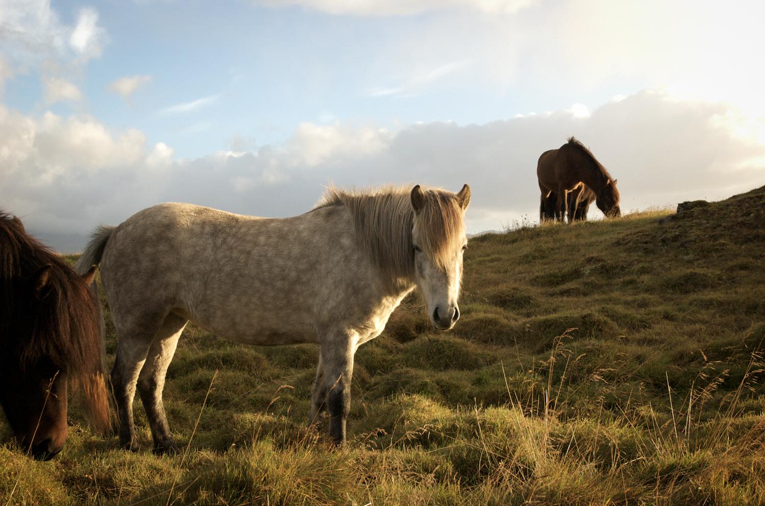luzod-design-co-mae-iceland-horse-golden-hour.jpg