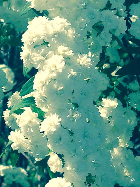 big white blooms.jpg