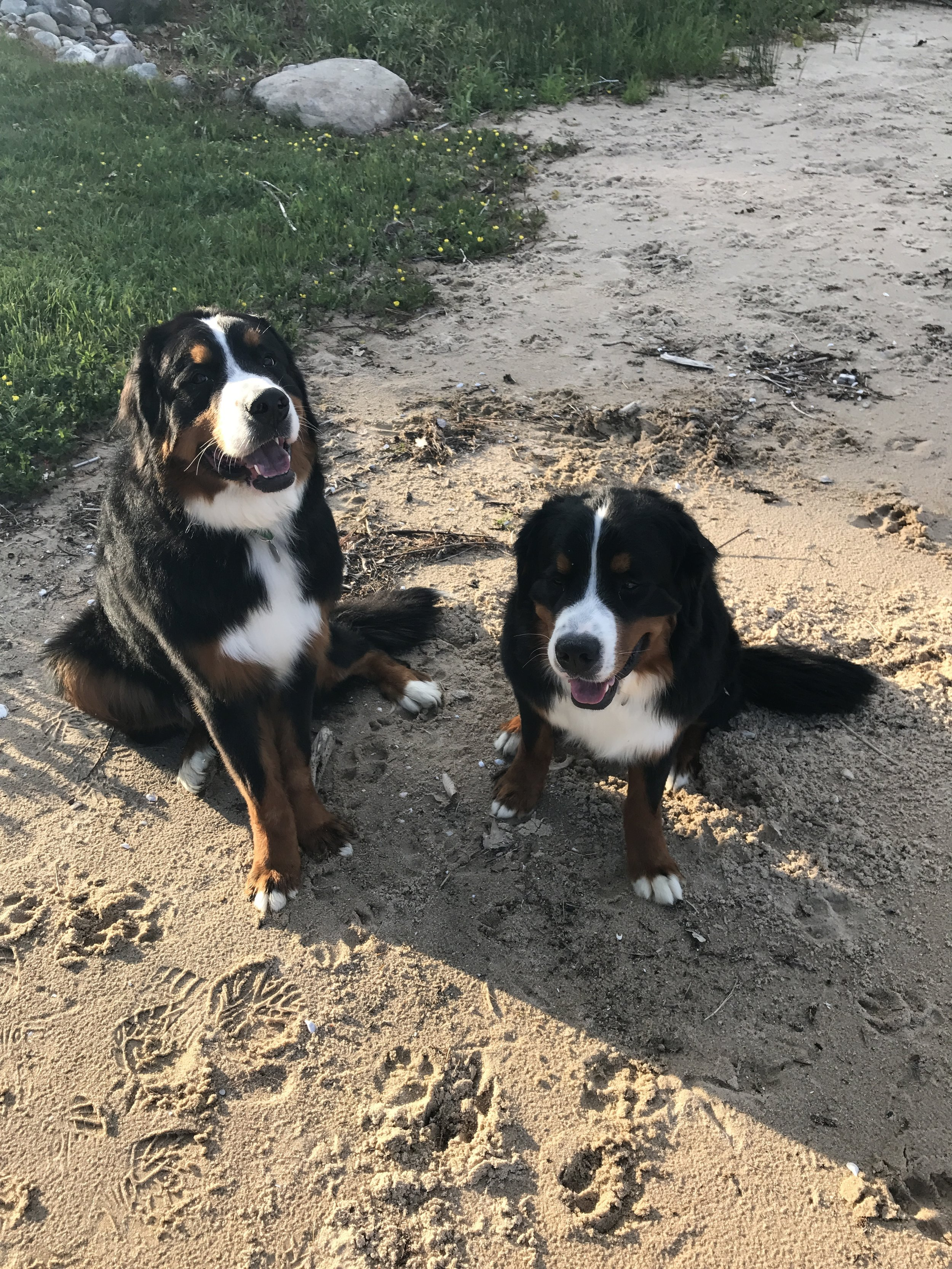 Bernese Mountain Dog Testimonials Canine Academy