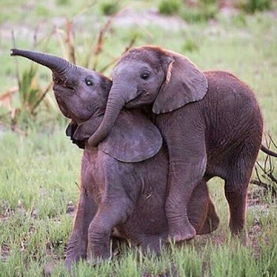 When I see them, I just want to hug them... I love them so much ! Their faces bring me a deep joy 💖🔮💖 #protectelephants #bekindwiththeelephants #savetheelephants #savewildlife #elephantslovers