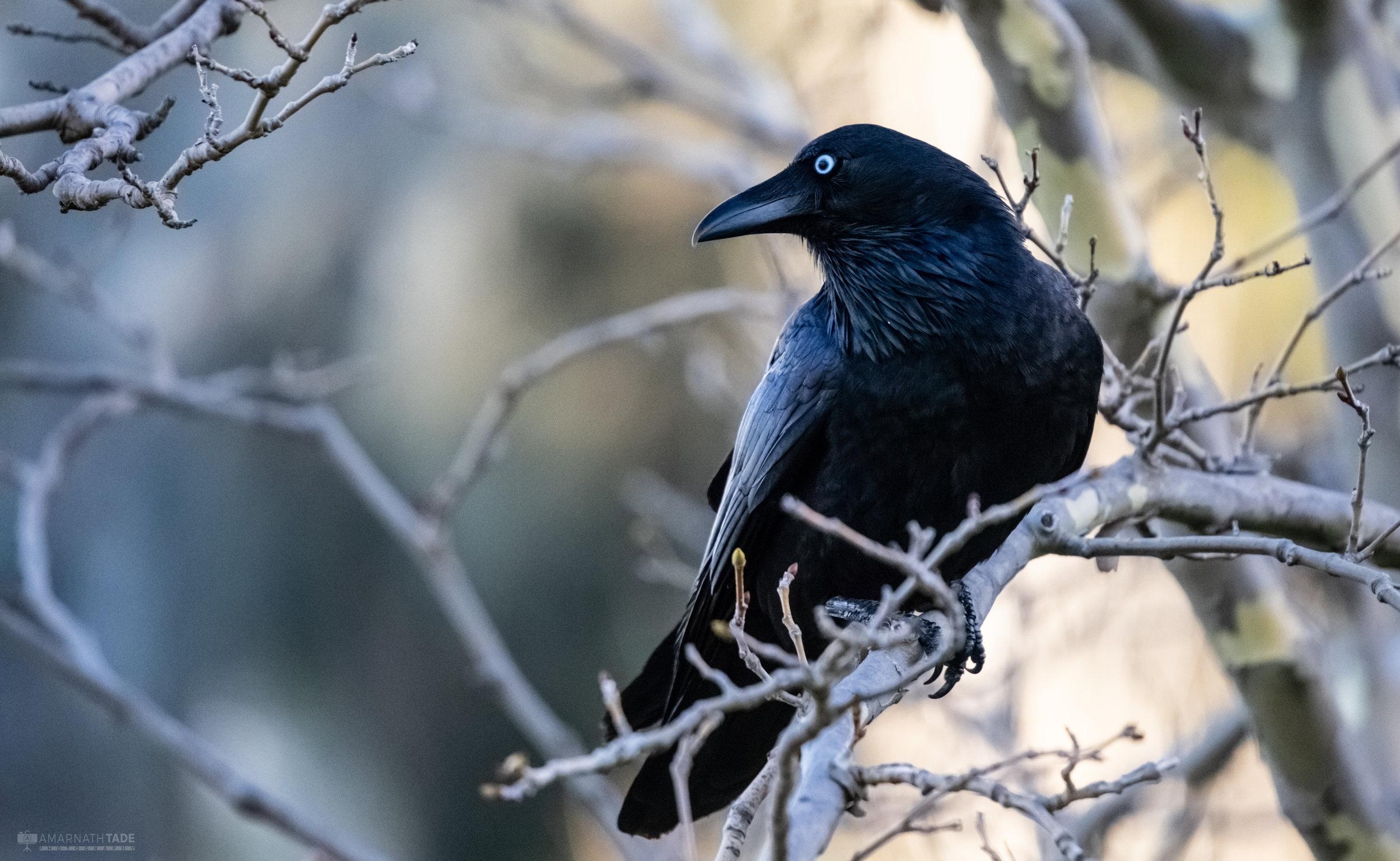 Raven Society -