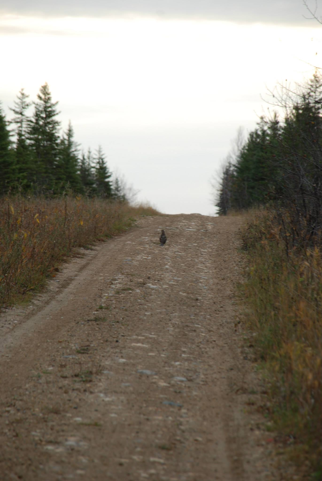 The grouse which the wolf was stalking before I rudely interrupted it. She stayed in that spot the entire time until Jean Paul went after it. How they are not extinct, I do not know.