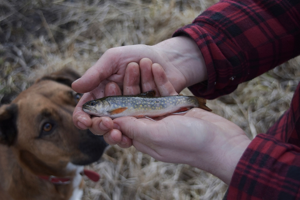 The brook trout are plentiful, but small in a stream where they over-reproduce and out-compete each other for food.
