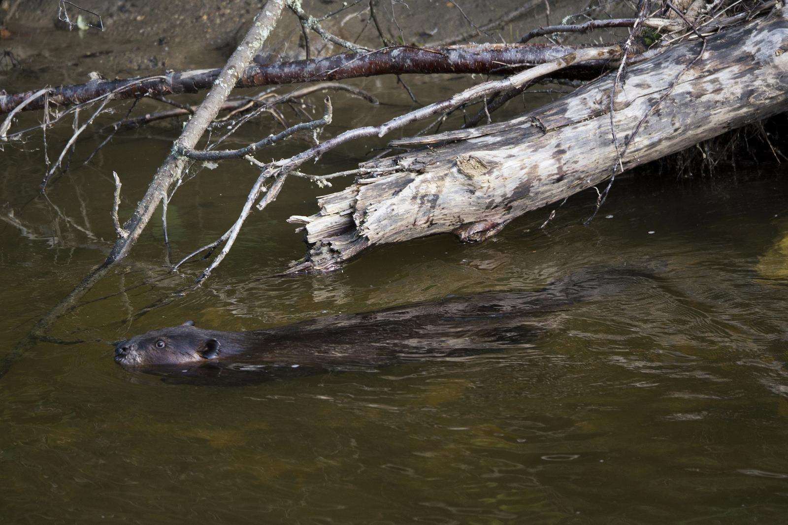 Not a rock, but actually a beaver.