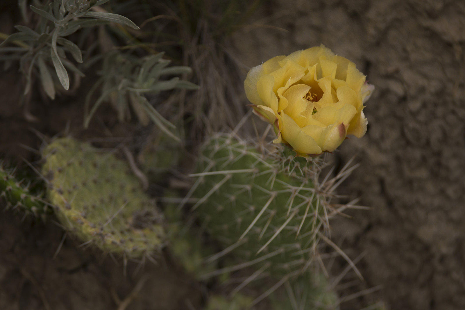 Prickly pear cactus in bloom.