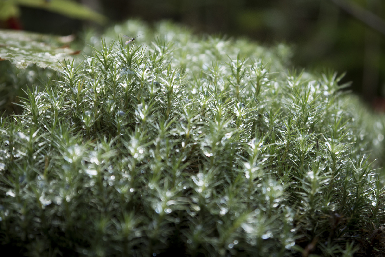 Dew in moss. (Goodson)