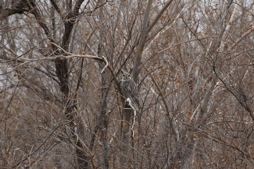 Great horned owl (Hootz)