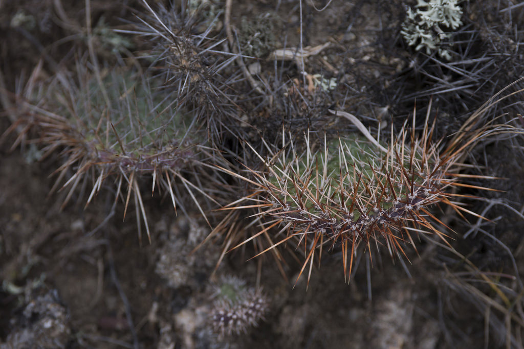Rust-coloured needles on wild cacti (Goodson)