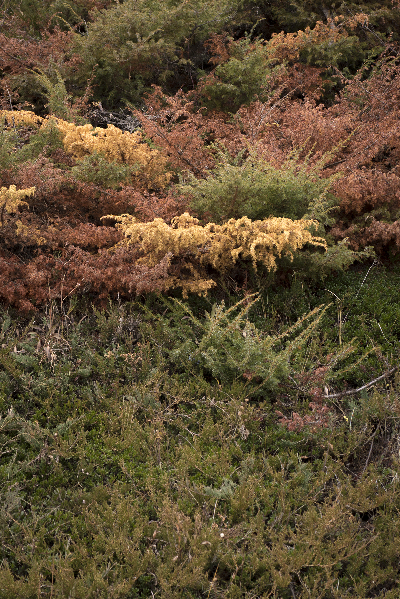 Autumn colour on wild juniper (Goodson)