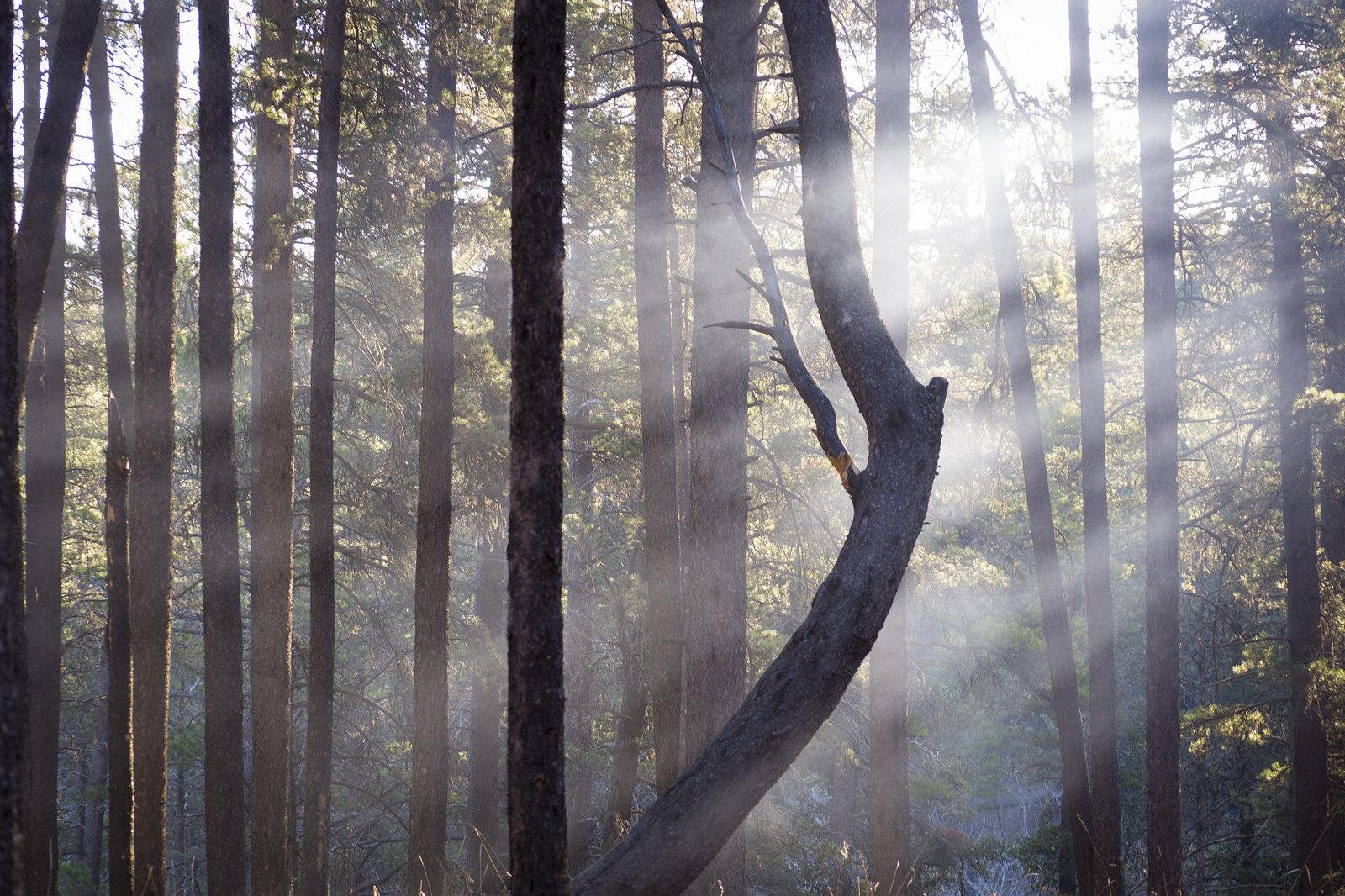 """Angel's Harp"" Lodgepole Pines in Cypress Hills"