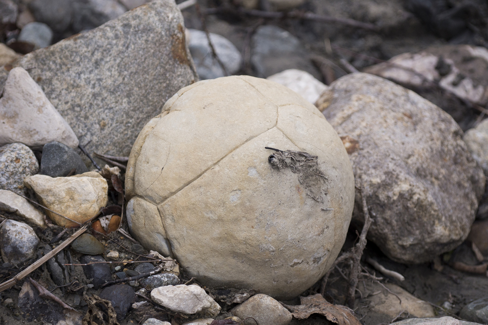 Large, round rocks such as this were found at Bainbridge River. We assume they are    septarian concretions   . (Goodson)