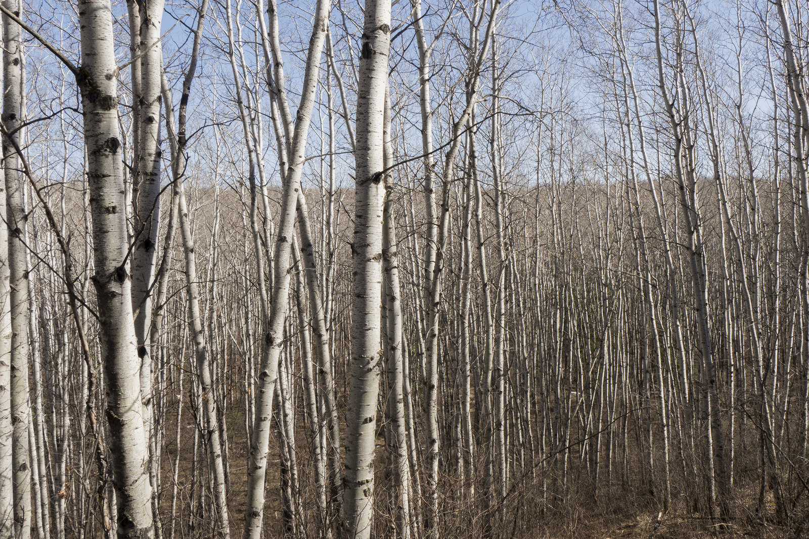 """Smokey"" woods — the grey canopy of nude trembling aspen (poplar) trees"