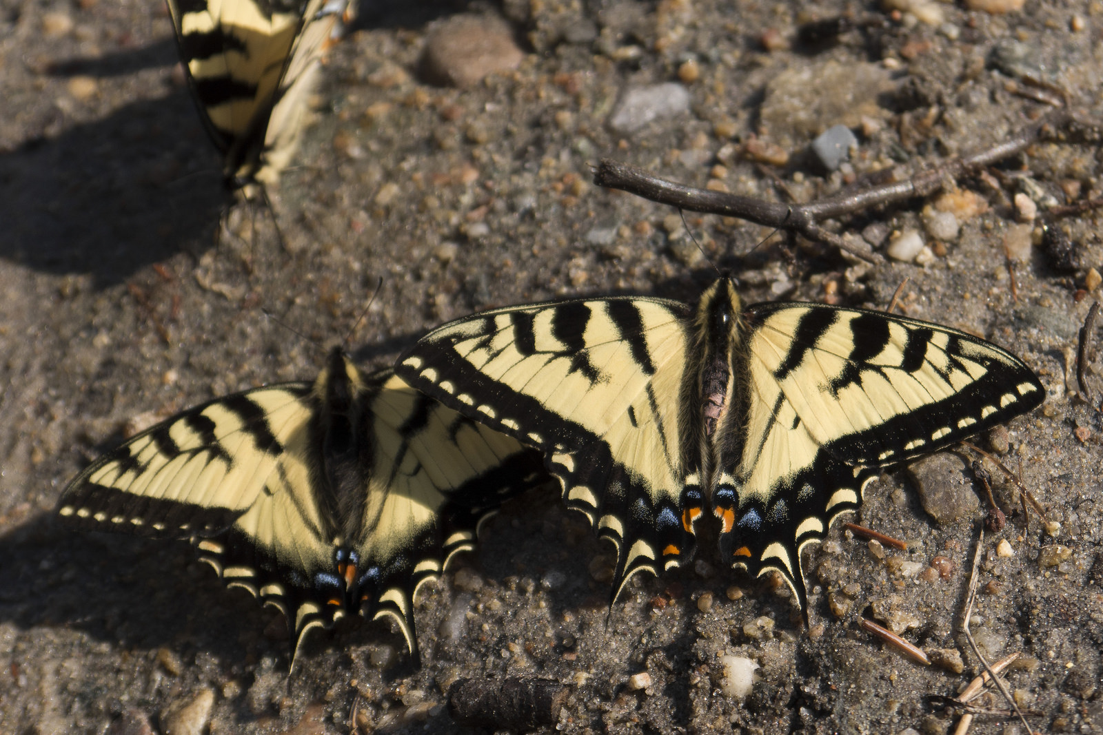 Topside of the Canadian tiger swallowtail