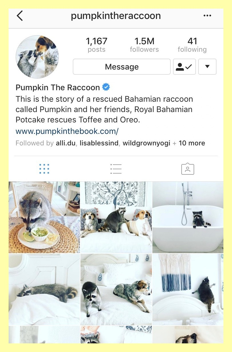 @pumpkintheraccoon - Pumpkin is a rescued Bahamian raccoon who has an unlikely friendship with two canine friends, and it's pretty darn cute if you ask us. You can keep up with Pumpkin's Instagram or read her about her tale in her new book.