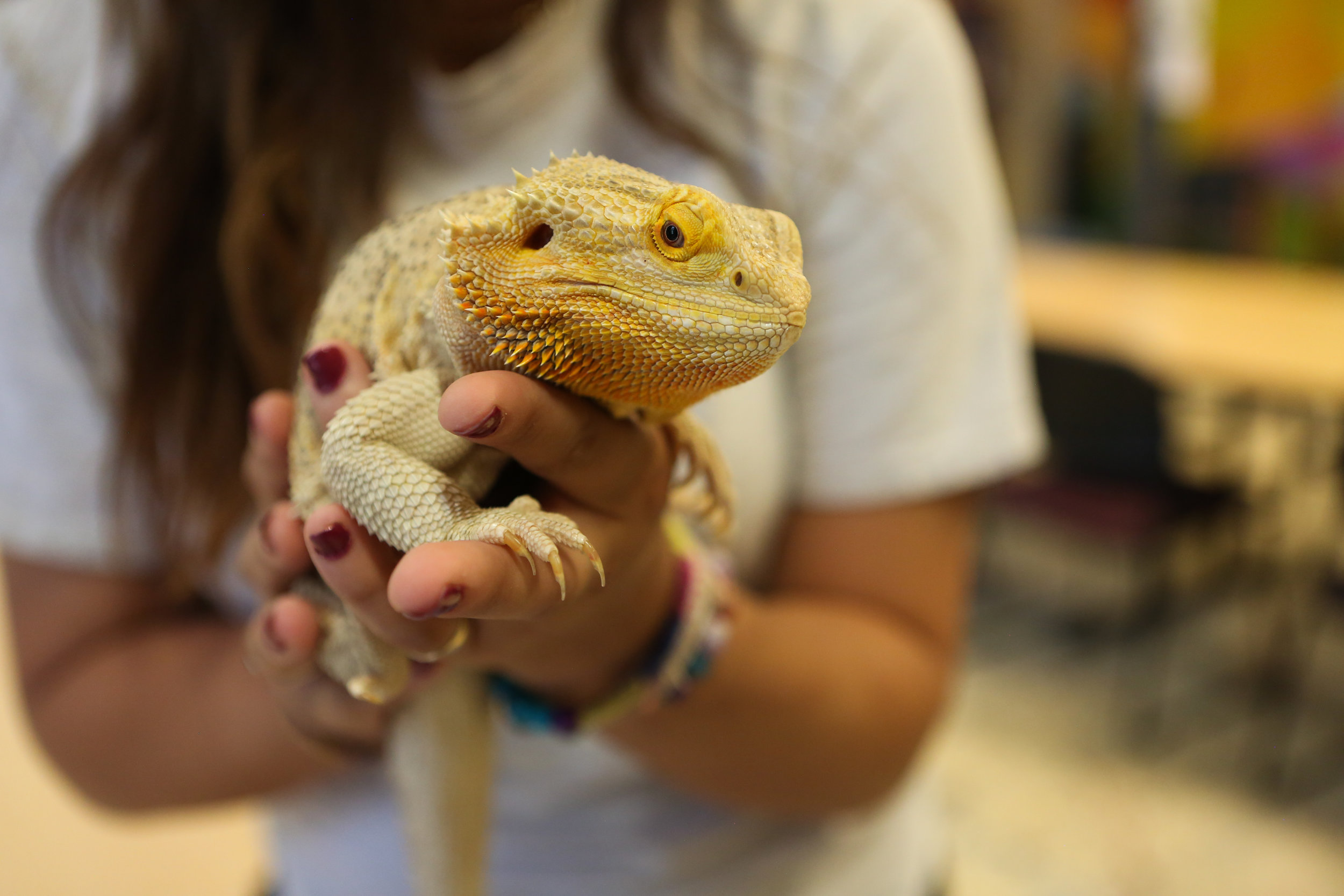Tiberius, Pathway Girls' resident bearded dragon Iguana, is a well liked roommate who provides a calming presence for the girls.