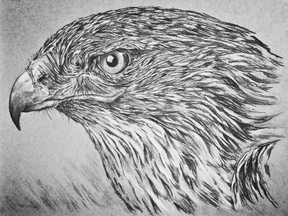 Hawk (small).jpg