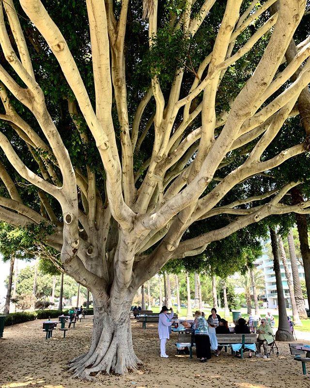Tree power! in Santa Monica, CA USA #palisadespark #santamonica#tree#photography#iinstagood#park