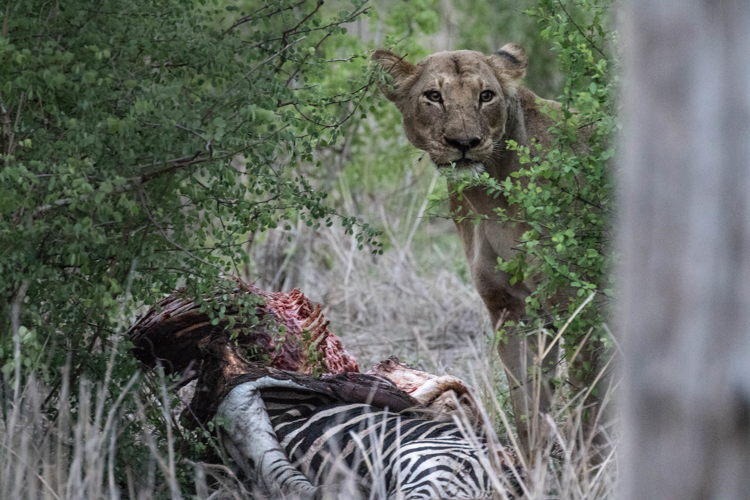 Those eyes. A lioness still feeding on a zebra while the rest of the pride lay around. Malilangwe, Zimbabwe